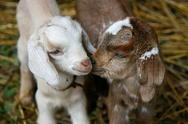 da1f318cb3 Goats Know When People Are Smiling And They Like To See It Happen,  According To New Research