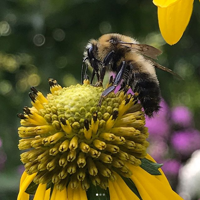 """""""Native plants are generally easier to grow because they're acclimated to that specific climate. They are also what the bees native to that area were designed to pollinate! Bees need good nutrition, and having a variety of forage that includes native plants is a great way to provide that for them,"""" said Shaw."""