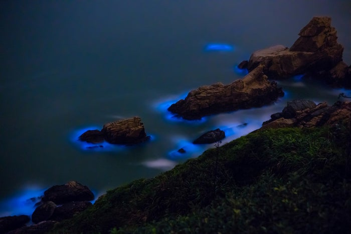 The teeny-tiny plant organisms actually emit this dreamy blue light as their defense mechanism.