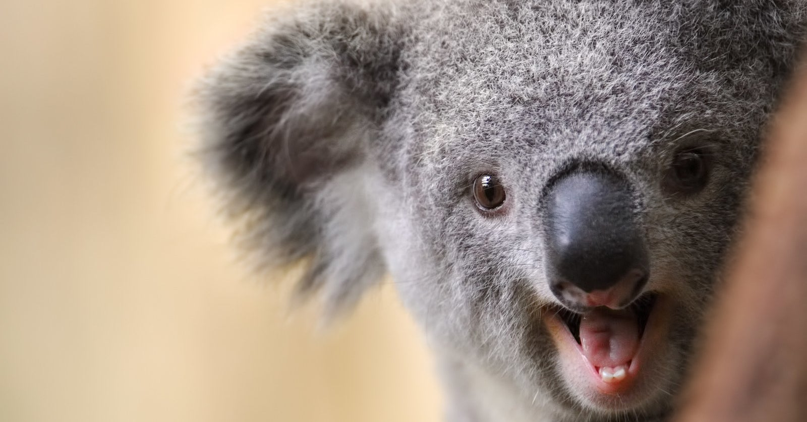 Just A Whole Lot Of Thirsty Koalas...
