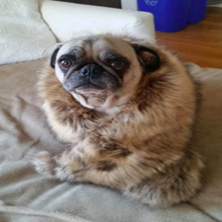 a different reviewer pic of their pug dog wrapped in the tan version of the shawl