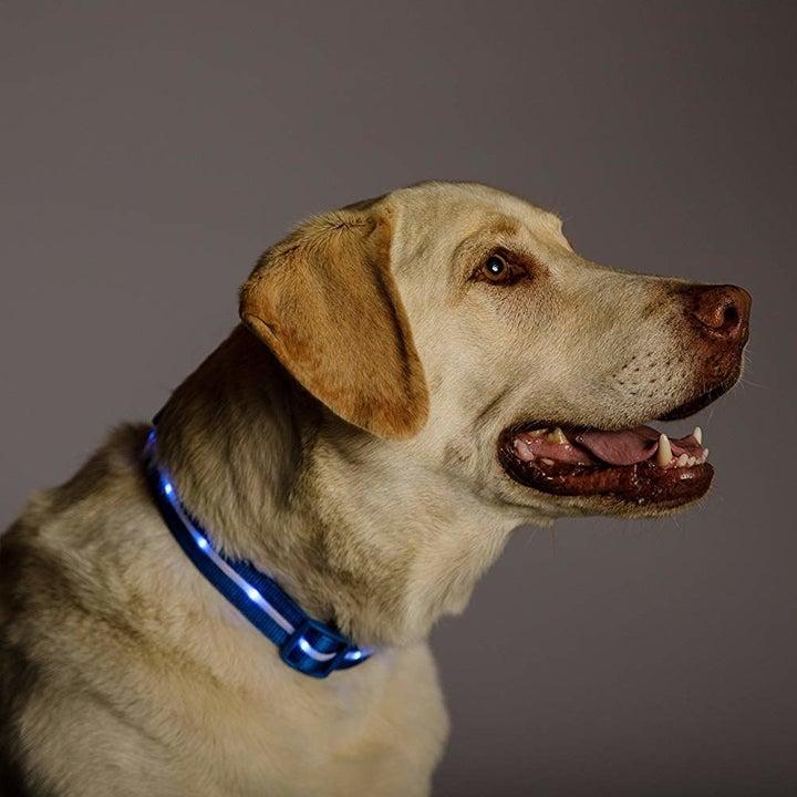 dog wearing LED collar
