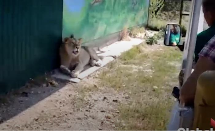 A Lion Casually Climbed All Over A Bunch Of Stunned Tourists After Hopping Into Their Vehicle
