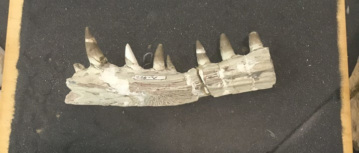 Mandíbula encontrada em São Paulo, Pacaembu Paulista, de espécie que viveu no período Cretáceo.
