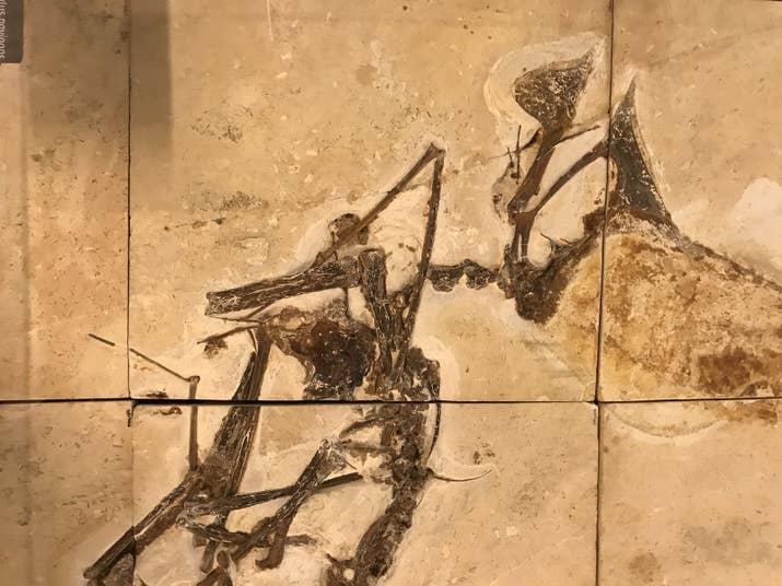 Fóssil de Pterossauro: Dinossauro brasileiro que viveu no nordeste do país há 228 milhões de anos, período Triássico.
