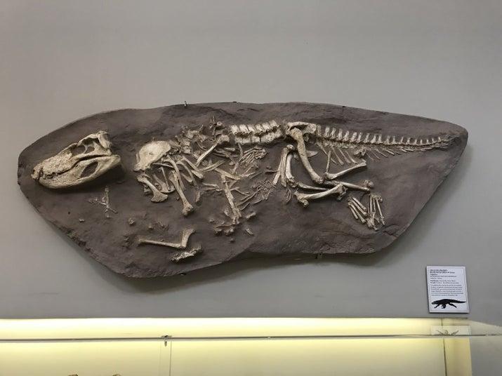 Crocodilomorfo: espécie extinta encontrada na zona oeste de São Paulo que viveu há 80 milhões de anos, no período cretáceo.