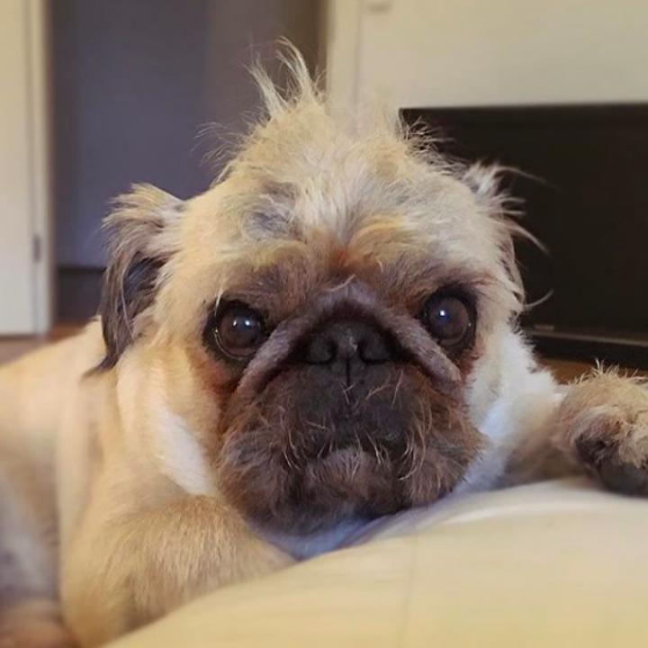 Pug Mi That You Ll Wanna Squeeeeeeeeeesh