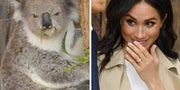 Check Out This Koala Looking Thoroughly Unimpressed To Be Meeting Meghan And Prince Harry