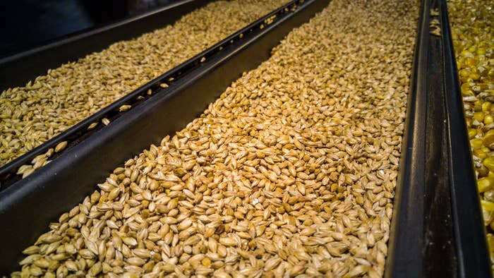 "To make whiskey, grains are put through a process that includes mashing, which breaks down starch into sugars. American malt whiskey is made from a fermented mash of at least 51% malted barley. Malt is a grain that, through a process that includes germination and drying, creates starches that are then converted into sugars that can be converted into alcohol. In Scotland, a ""single malt whisky"" must be made from 100% malted barley in a copper pot still from a single distillery — i.e., Lagavulin or Talisker."