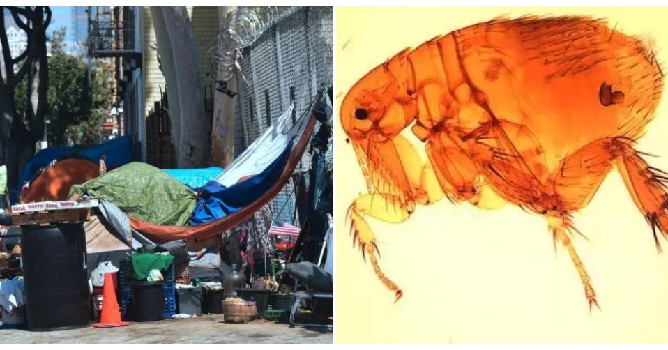 Flea-Borne Typhus Outbreak Is Spreading In Los Angeles, Hitting The Homeless Population Hard