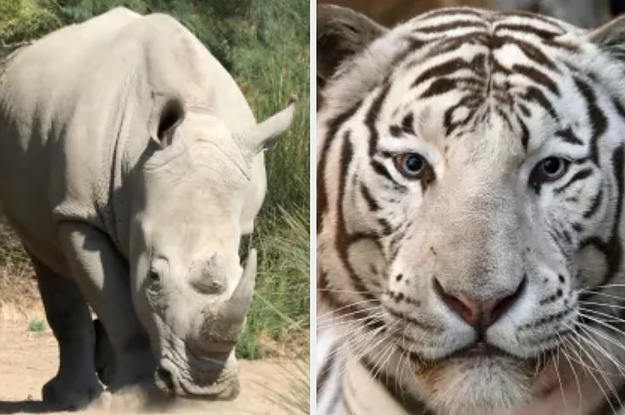 China Will Now Let Tiger Bone And Rhino Horn Be Legally Used In Medicine