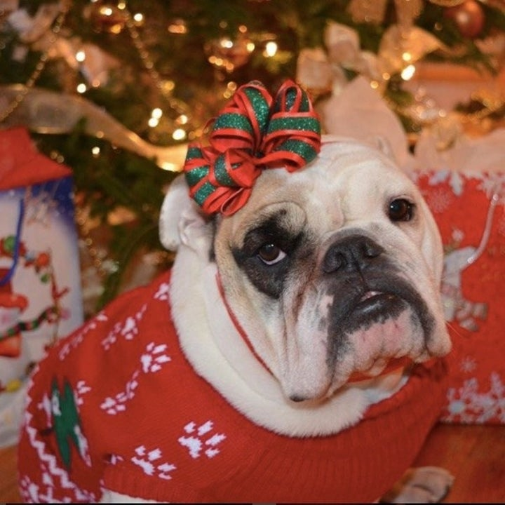 English bulldog in a Christmas sweater