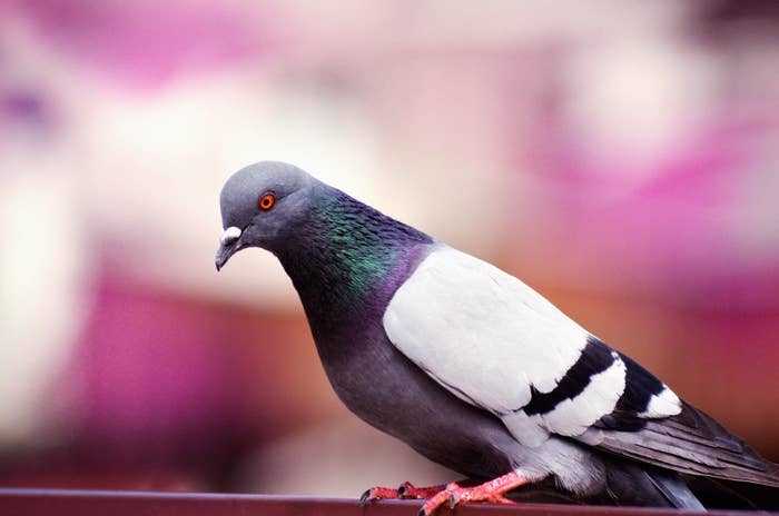 Ever hear the legend of the one-legged pigeon? A true campus hero.