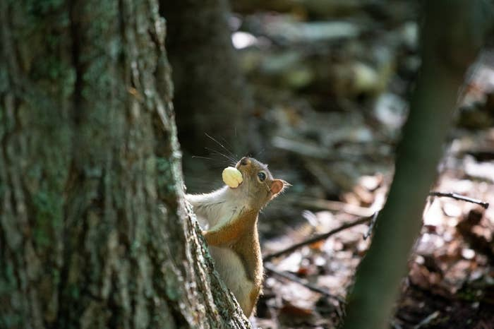 Have you seen the infamous tailless squirrel? We love her. PSA: Now is the best time of year for squirrel-watching. As they bulk up for winter, they only get cuter!!!!
