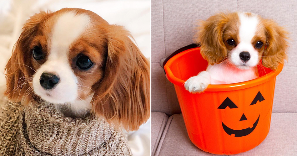 17 cavalier king charles spaniels to follow on instagram