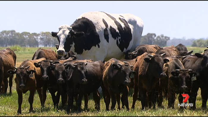 Image result for knickers the cow gif