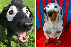 13 Dogs With Vitiligo Who Will Warm Your Cold, Unloving Heart