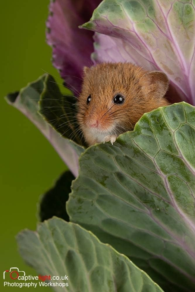 One Photographer's Colorful Close-Up Shots Of Harvest Mice