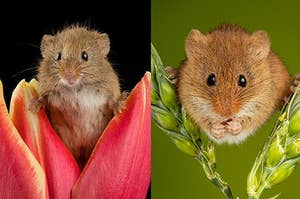 One Photographer's Colorful Close-Up Shots Of Harvest Mice Are Beautiful