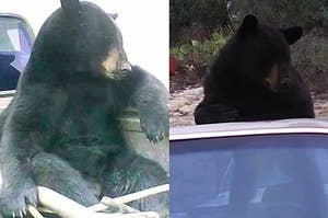 Meet The Bear Who Has Figured Out How To Hitchhike Successfully