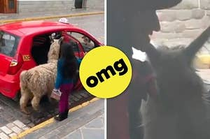 This Alpaca Getting Into A Taxi Is The Most Satsifying Thing You Will Ever See