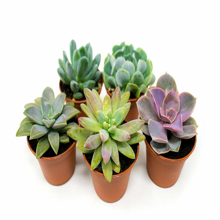 five succulents in small brown pots