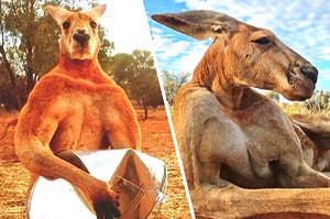That Huge-Ass Kangaroo, Famed For Crushing Buckets, Has Died