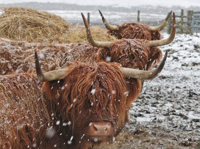 Durham, January 28Highland cattle huddle in Durham during a blizzard as freezing temperates gripped the UK and heavy snowfall led to travel disruption.