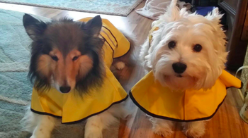 two dogs in matching yellow raincoats