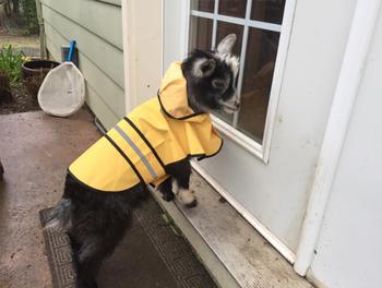 a cute pygmy goat wearing a yellow hooded raincoat