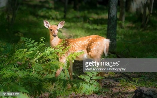 A young deer fawn in a fall forest in Northern Wisconsin near Dam Lake.
