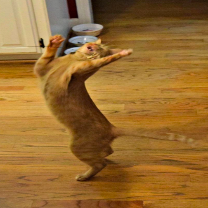 Reviewer image of a cat playing with the toy