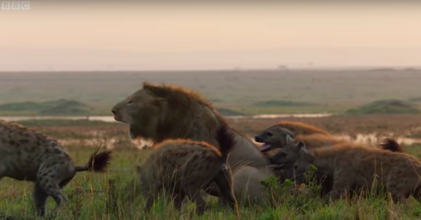 This Lion's Battle with 20 Attacking Hyenas Is An Intense Sight To Behold