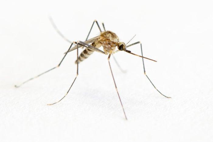 Sendo os mais conhecidos o Aedes aegypti (transmissor da dengue), o Anopheles sp. (vetor da malária) e o Culex sp. (pernilongo caseiro).