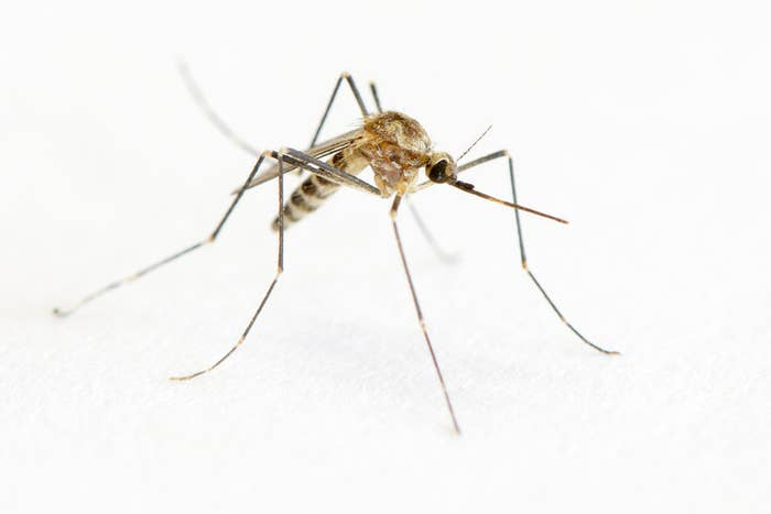 "Also, the word ""mosquito"" is Spanish for ""little fly."""