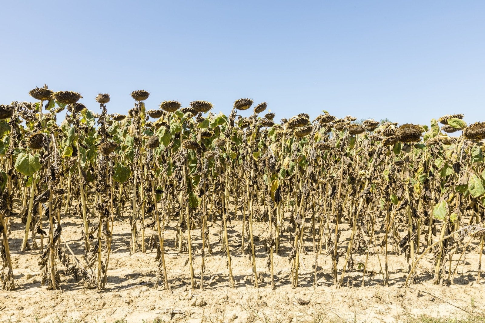 Dry sunflower plants in a field near Lyon, France, affected by drought during a heat wave on Aug. 20.