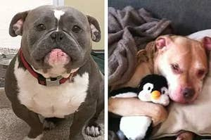 16 Reasons Why Pit Bulls Are Actually The Scariest Animals Alive