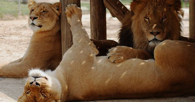 A Lion Has Been Shot Dead After It Killed A Zoo Employee