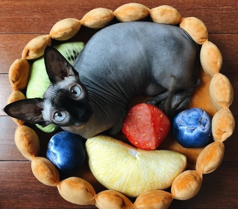 BuzzFeed editor's photo of their hairless cat sitting in the fruit tart bed