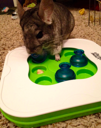 Reviewer photo of a chinchilla moving cups to find treats hidden underneath