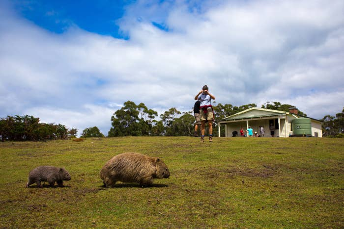 Tasmania Is Asking Tourists To Stop Annoying Wombats With Selfie Sticks