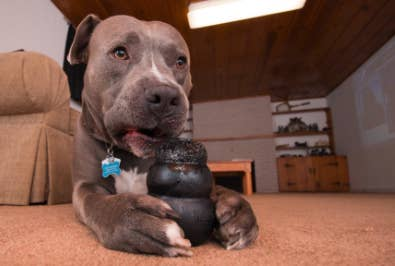 Reviewer's dog chewing on black rubber dog toy