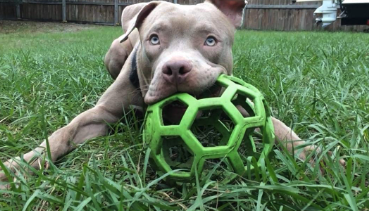 Reviewer's dog playing with ball made from natural rubber