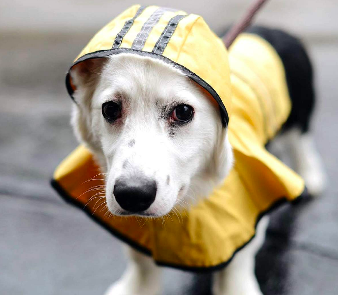 A product shot of a dog wearing the raincoat with the hood over their head