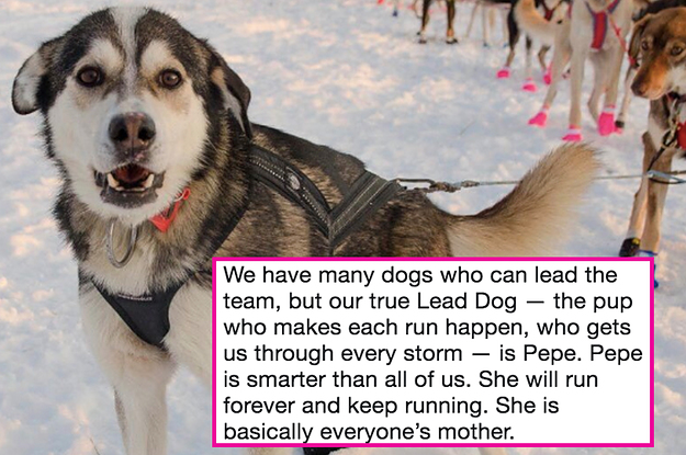 This Sled Dog Racer Tweeted Out An Adorable Thread About Her Dogs Before They Race In The Iditarod And MY HEART