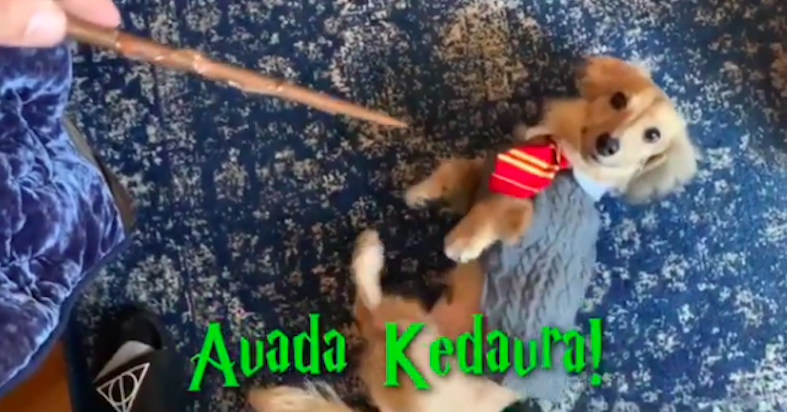 "This Puppy Was Trained In ""Harry Potter"" Spells And Hermione Is Screaming"