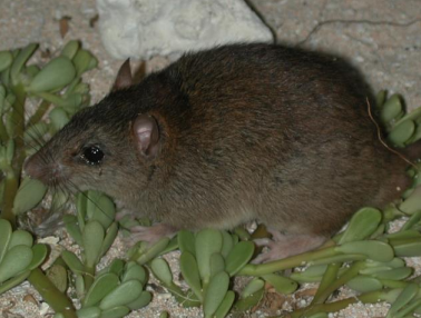 A Bramble Cay melomys in November 2002.