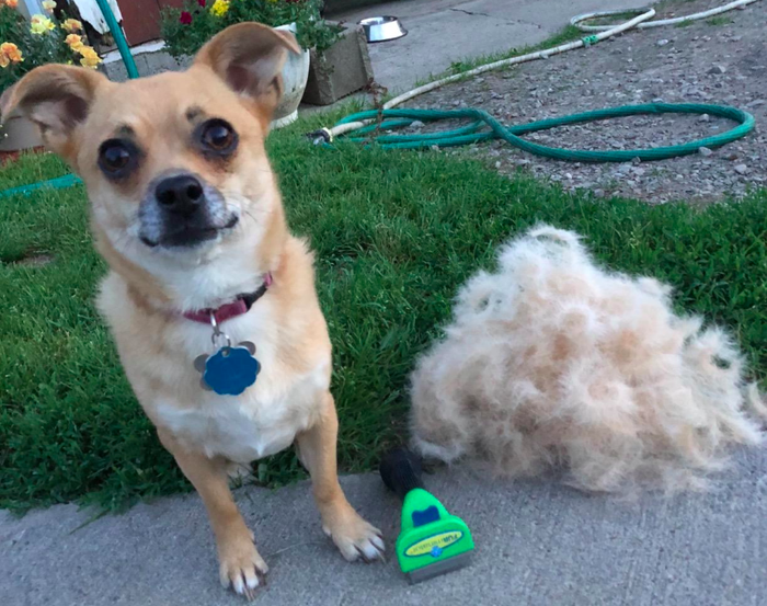 """Promising review: """"Works great and helps keep the fur off my wood floors. My pup didn't like it at first so I gave her lots of treats and now she loves it."""" —Elizabeth Miller Get it from Amazon for $17.99+ (available for long- or short-haired dogs, and in sizes XS to giant)."""