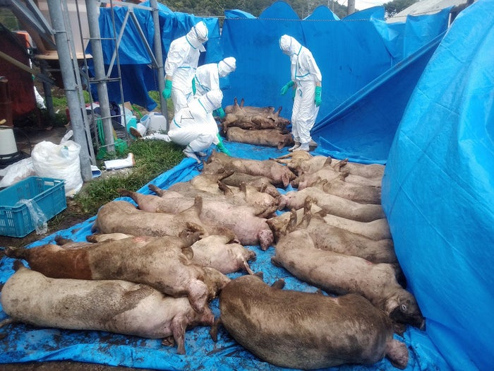 岐阜市の養豚場で家畜伝染病の「豚コレラ」に感染し、殺処分された豚(2018年9月9日)[岐阜県提供]