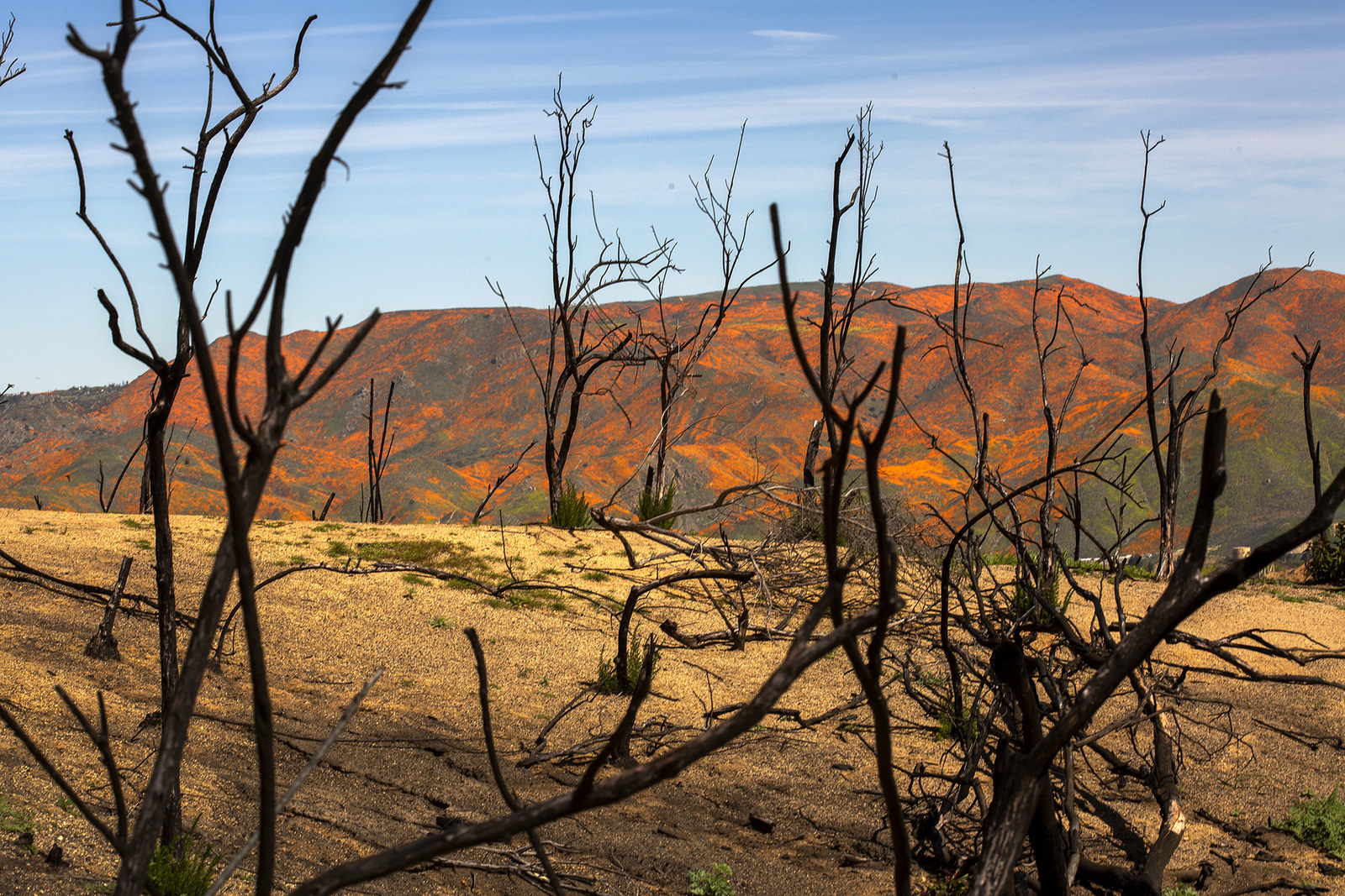 California poppies bloom near a hill torched by 2018's Holy fire, in Lake Elsinore, March 15.